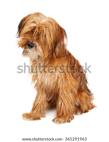Adorable young mixed breed dog with long shaggy hair sitting on white and tilting head - stock photo