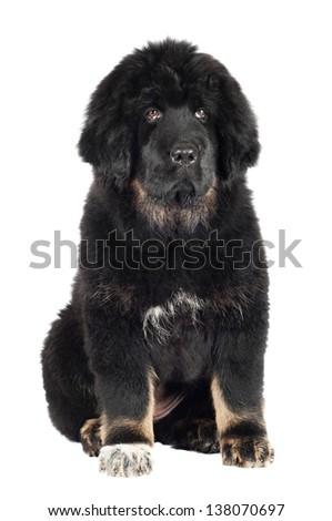 adorabole black tibetan mastiff puppy - stock photo
