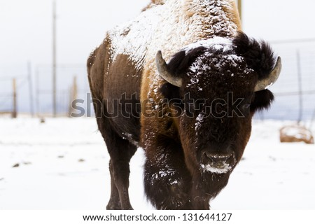 Adult American buffalo standing in the snow. A light dusting of snow accents buffalo's face. - stock photo