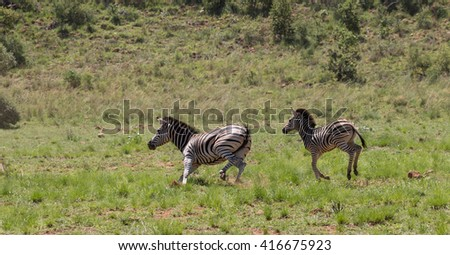 Adult and foal Burchell's Zebra (Equus Quagga Burchellii) running fast on a grassy plain in Pilanesberg, South Africa - stock photo