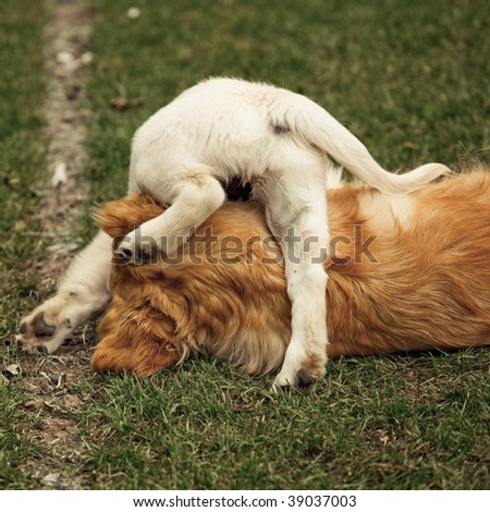 Adult and puppy Golden Retriever playing together - stock photo