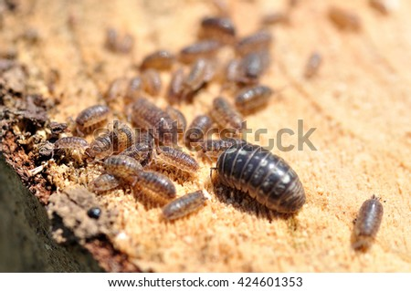 Adult and young centipedes on a piece of wood. - stock photo