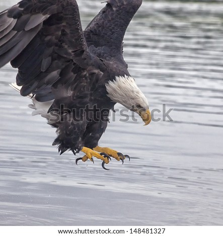 Adult bald eagle opens talons near the water.  Summer in Minnesota along the Mississippi River - stock photo