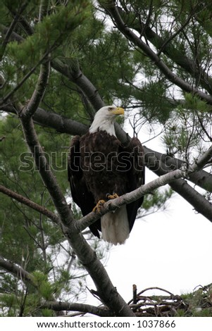 Adult Bald Eagle perched on a pine branch just before taking flight in northern Wisconsin. - stock photo