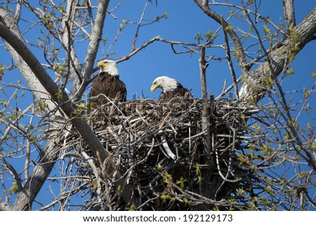 Adult Bald Eagles on Nest at Magee marsh - stock photo