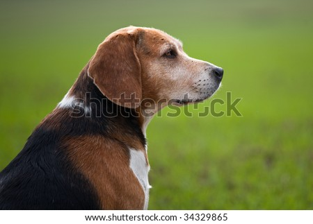 Adult beagle dog in profile - stock photo