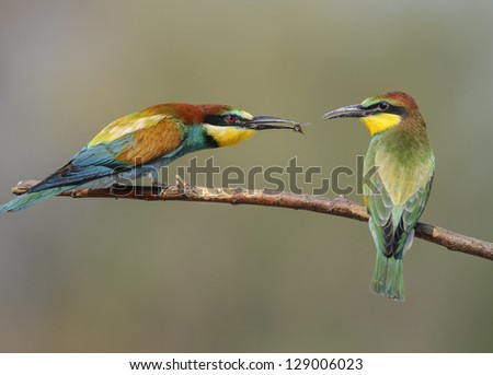 Adult bee eater feeding young bee eater - stock photo