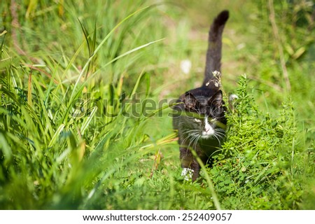 Adult black and white cat walking in the grass - stock photo