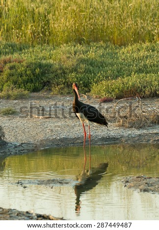 Adult Black Stork in late afternoon sunlight on Lesvos - stock photo