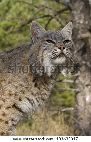 Adult Bobcat sits on a rocky ledge during the heat of summer - stock photo