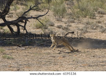 Adult Cheetah chasing prey on the African plains - stock photo
