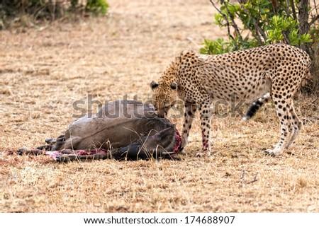 Adult cheetah feasting on wildebeest kill, Masai Mara National Reserve, Kenya - stock photo