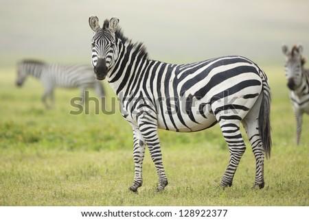 Adult Common Zebra, Ngorongoro Crater, Tanzania, (Equus quagga) - stock photo