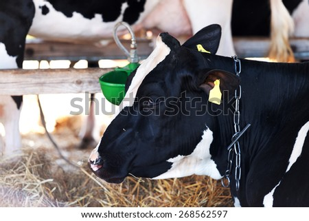 Adult cow in a barn. - stock photo