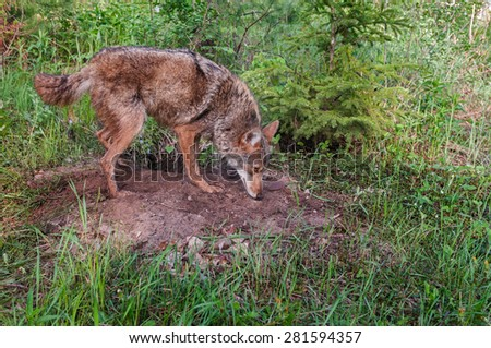 Adult Coyote (Canis latrans) Sniffs at Densite - captive animal - stock photo