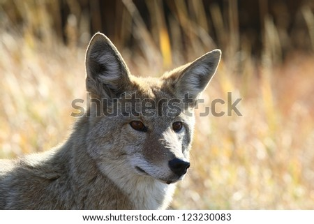 Adult Coyote close up in Yellowstone National park - stock photo