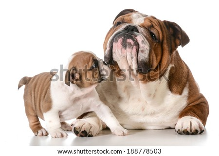 adult dog and puppy english bulldogs - stock photo
