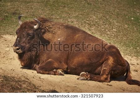 Adult European bison (Bison bonasus) female resting in the sun. - stock photo