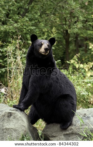 Adult female black bear (Ursus Amricanus) strikes a comic pose while sitting on two boulders in the forest. - stock photo
