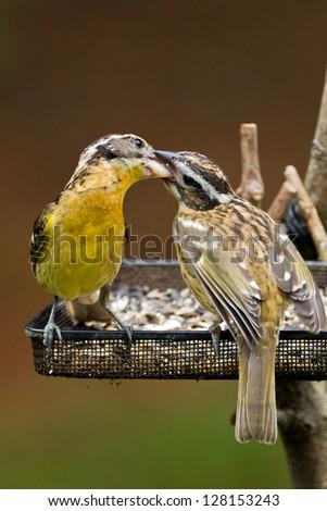 Adult female Black-headed Grosbeak (Pheucticus melanocephalus) is feeding young at a bird feeder. - stock photo