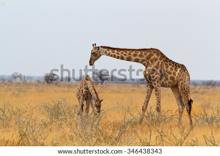 adult female giraffe with calf grazzing on tree in Etosha national Park, Ombika, Kunene, Namibia, true wildlife photography - stock photo