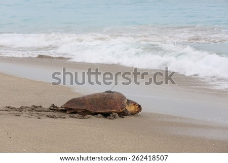 Adult female loggerhead turtle fitted with a transmitter is released back into the wild - stock photo
