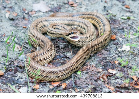 Adult four-lined snake (Elaphe quatuorlineata) hissing - stock photo