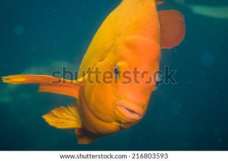 Adult Garibaldi damselfish (Hypsypops rubicundus - stock photo
