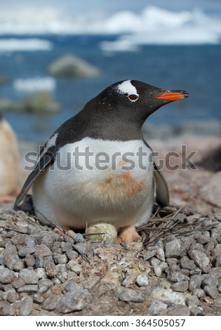 Adult Gentoo penguin lying on the egg, with icy blue background, Antarctica - stock photo