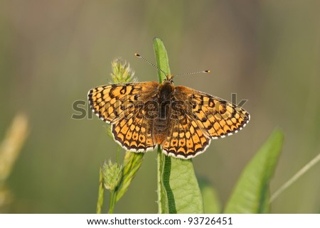 adult Glanville fritillary Melitaea cinxia in the Isle of Wight - stock photo