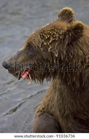 Adult Grizzly Bear feeds on Salmon in Brooks River - stock photo
