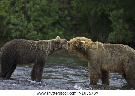 Adult Grizzly Bears meet at Brooks Falls for courtship - Alaska - stock photo