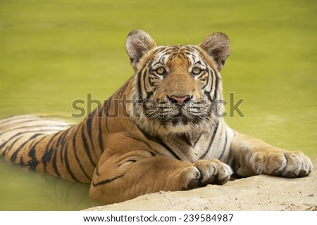 Adult Indochinese tiger at the waterside. The Indochinese tiger (Panthera tigris corbetti) is a tiger subspecies found in the Indochina region of Southeastern Asia. - stock photo