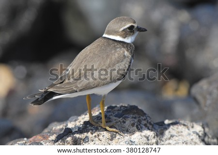 Adult Kentish Plover Water Bird  - stock photo