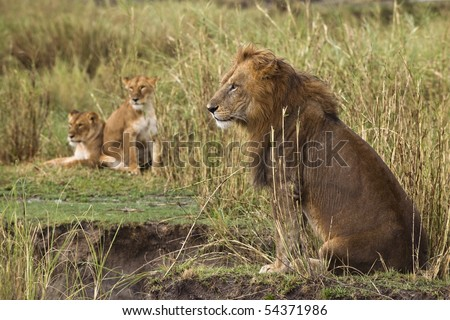 Adult lion sitting and two lionesses in the background, side view - stock photo