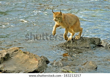 Adult Lynx jumping rocks in the river. - stock photo