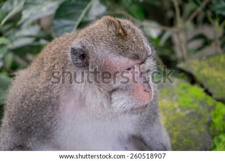 Adult macaque looking into the distance, Ubud, Bali - stock photo