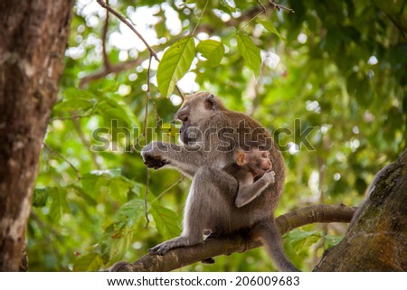 Adult macaque monkey sitting eating fruit on a stone wall with a green lawn and part of a habitation behind , side view - stock photo