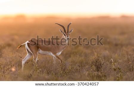 Adult Male Grant's Gazelle in the Serengeti, Tanzania - stock photo