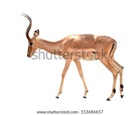 adult male impala isolated on white background - stock photo