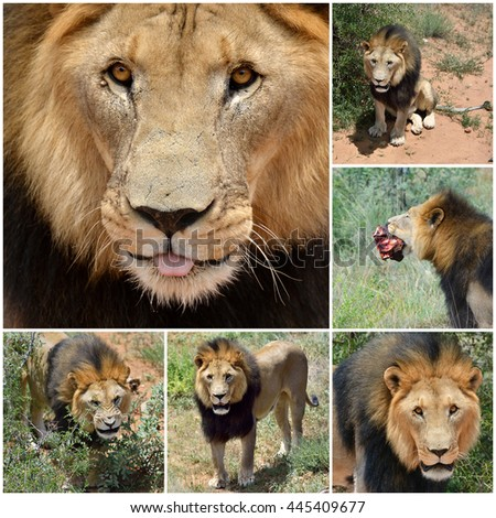 Adult male lion in Africa, Namibia. Collage - stock photo