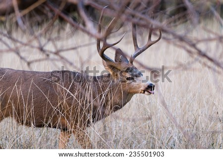 adult male mule deer with a nice rack walking on the fields of Zion NP - stock photo