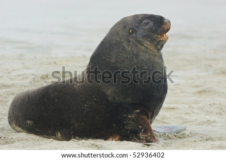 Adult male New Zealand Sea lion (Hooker's Sea lion) Otago Peninsular, New Zealand - stock photo