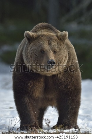 Adult Male of Brown Bear (Ursus arctos)on the snow on swamp in spring forest. - stock photo