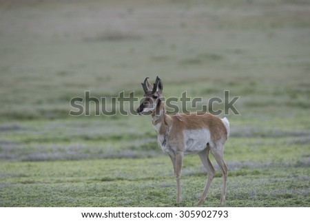 Adult Male Pronghorn Antelope in Grand Teton National Park - stock photo
