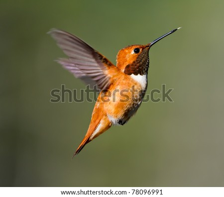 Adult Male Rufus Hummingbird - stock photo
