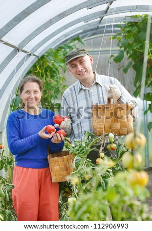 adult men and women harvest tomatoes - stock photo