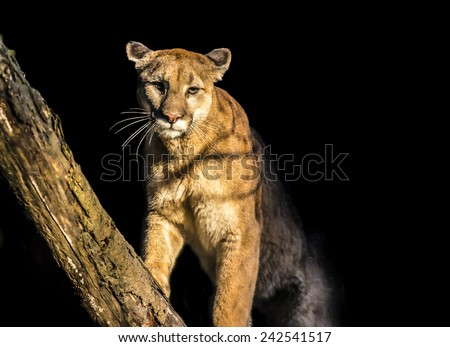 Adult Mountain Lion isolated over black background  - stock photo