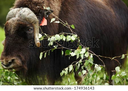Adult Musk Ox - Southern Alaska, United States - stock photo