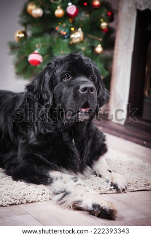 adult Newfoundland in studio by the fireplace, Christmas and New Year - stock photo